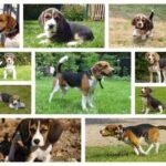 Beagle pups kopen bij Belgisch beagle fokker
