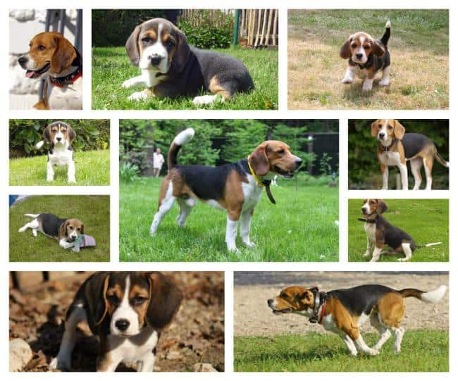 beagle pups brussel