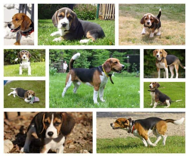 beagle fokkers