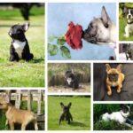 Franse Bulldog pups te koop van Belgisch fokker