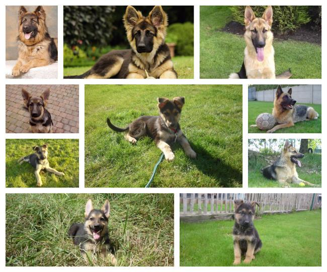 What is the price of a German Shepherd