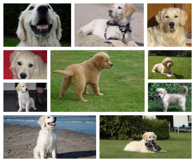 What is the price of a Golden retriever puppy?