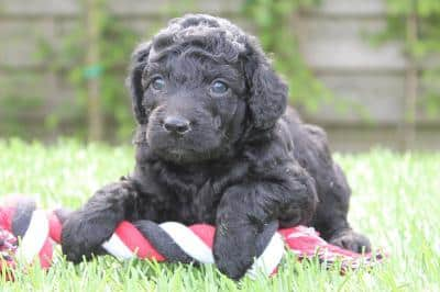 Labradoodle price: What does he cost?