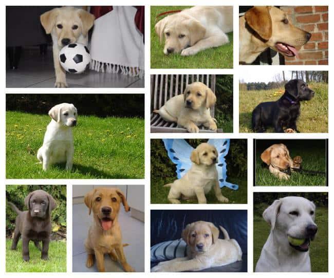 What is the price of a Labrador retriever