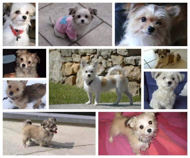 gemischte Chihuahua Welpen