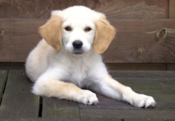 golden-retriever-01