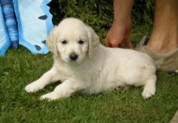 golden-retriever-03