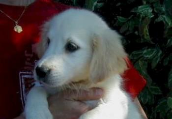 golden-retriever-05