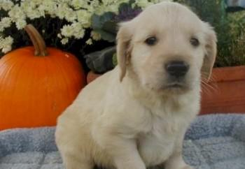 golden-retriever-07