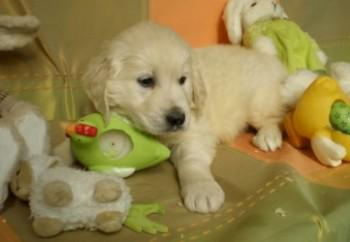 golden-retriever-09