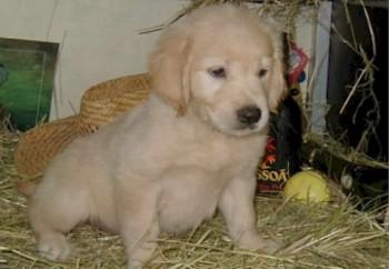 golden-retriever-12