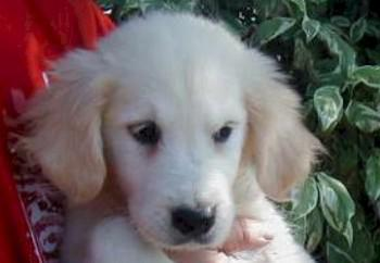 golden-retriever-14