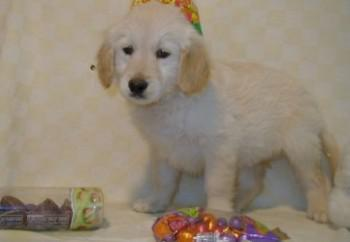 golden-retriever-17