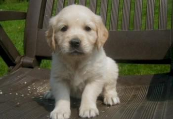 achat golden retriever