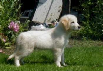 golden-retriever-25