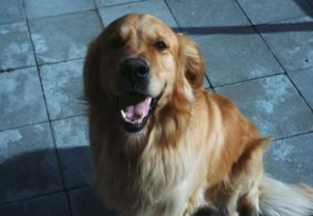 golden-retriever-29