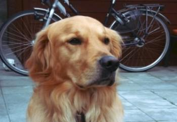 golden-retriever-30