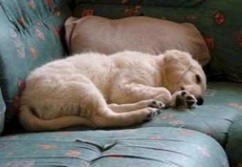 golden-retriever-33