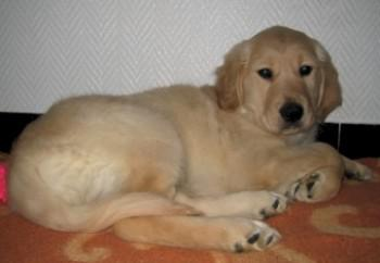 golden-retriever-40