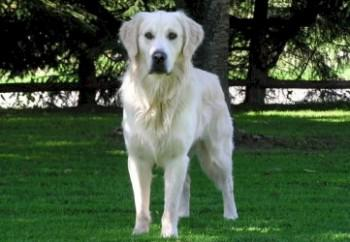 golden retriever 41