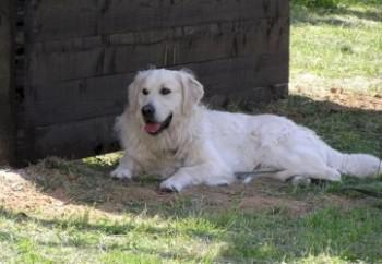 golden-retriever-43