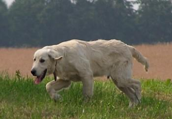 golden-retriever-44