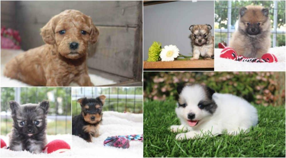 Collage van kleine honden rassen