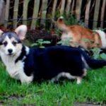 Welsh Corgi Pembroke pups van Belgische fokker