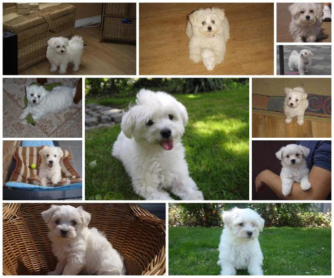 bichon maltais collage