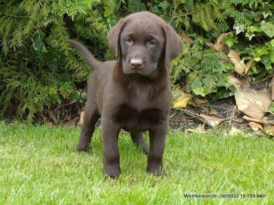 Labrador retriever pups te koop