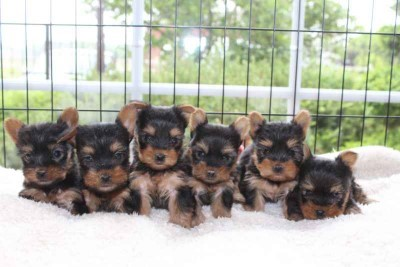 Yorkshire terrier pups te koop