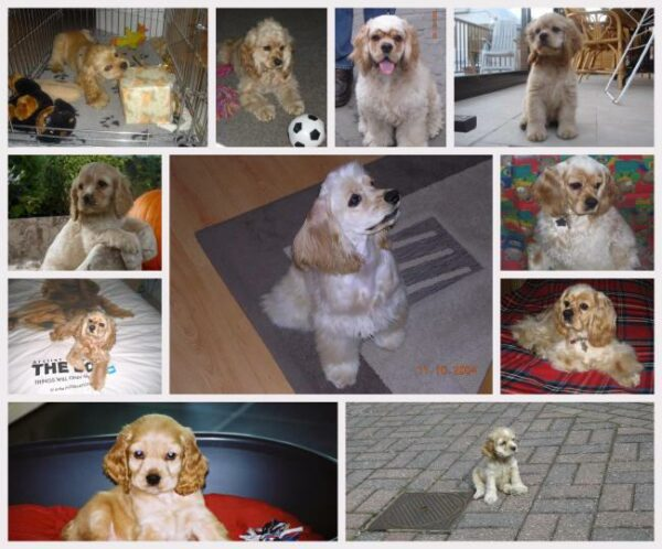 american cocker spaniel collage
