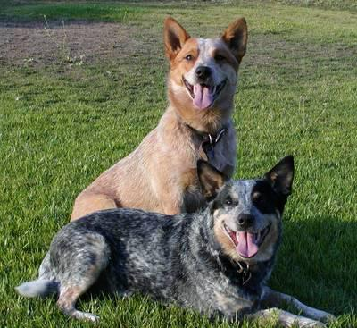 Australian Cattle Dog 02