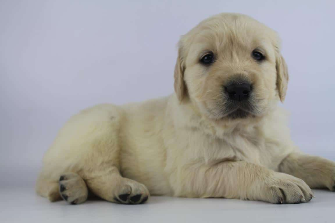 Beste Golden Retriever ter adoptie - Woefkesranch JU-64