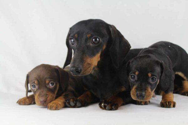 dwergteckel moeder en pups