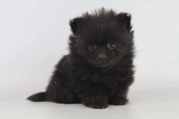 pomeriaan puppy zwart