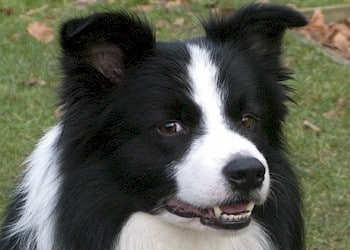border collie 02
