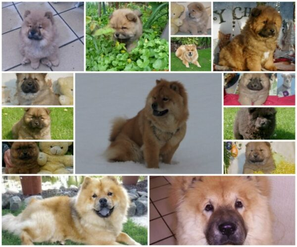 collage chow chow