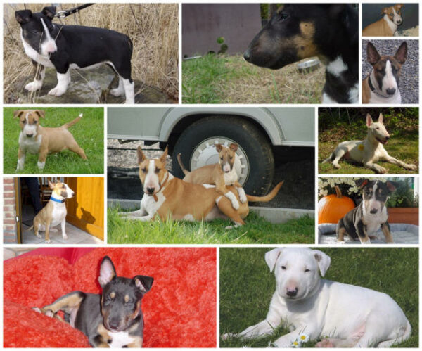 bull terrier collage