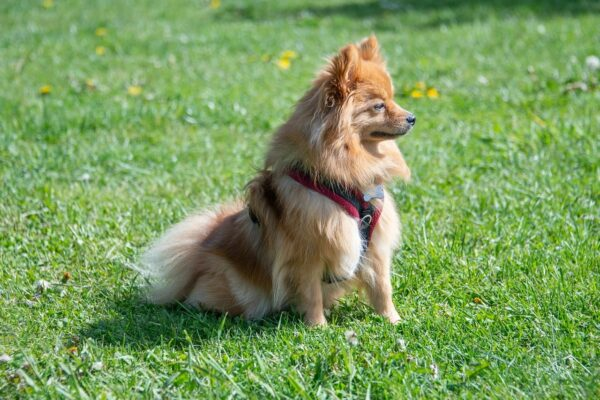 Pomeranian Dog Small Orange Grass  - DrNickStafford / Pixabay