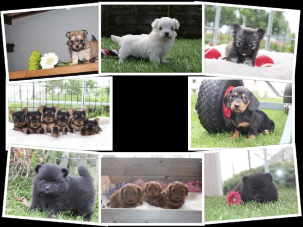 kleine hondenrassen