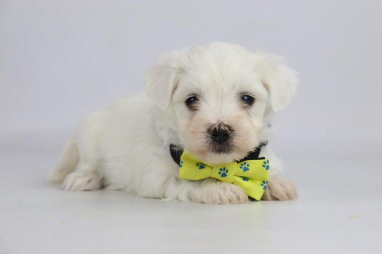 De prijs van een Maltezer pupje