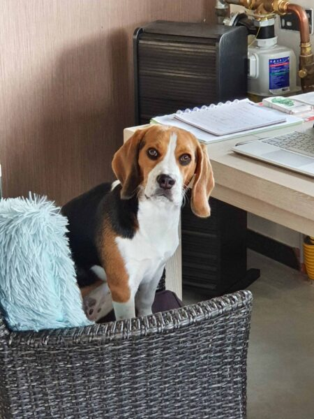 review woefkesranch beagle