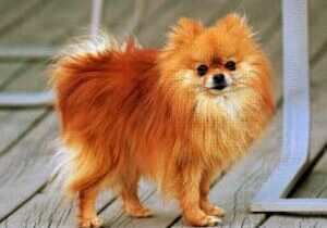 Pomeranian_orange-sable_Coco