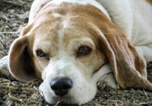 dog-beagle-friend-senior-old-eyes-nose-snuff-pet