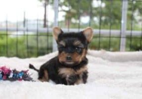 yorkshire-terrier-pups-te-koop